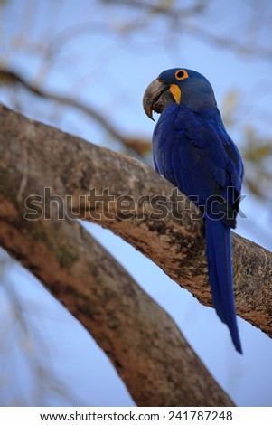 Big blue parrot Hyacinth Macaw, Anodorhynchus hyacinthinus, sitting on the branch with blue sky, Pantanal, Brazil, South America - stock photo