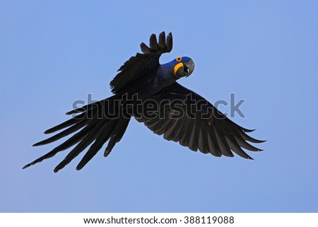 Big blue parrot Hyacinth Macaw, Anodorhynchus hyacinthinus, wild bird flying on the dark blue sky, action scene in the nature habitat, Pantanal, Brazil, South America - stock photo