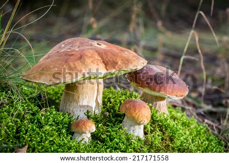 Big boletus mushrooms on moss in forest - stock photo