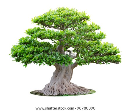 Big bonsai tree isolated on white background - stock photo