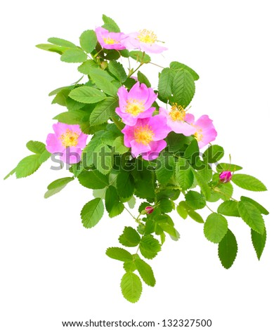 Big branch of dog rose with leaf, flower and bud. Isolated on white background. Close-up. Studio photography. - stock photo