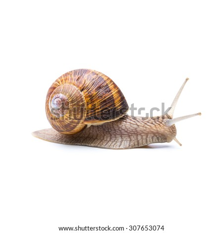 big brown Achatina fulica snail creep away - stock photo