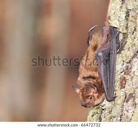 Big Brown Bat (Eptesicus fuscus).  A Big Brown Bat on the trunk of a woodland maple tree - stock photo