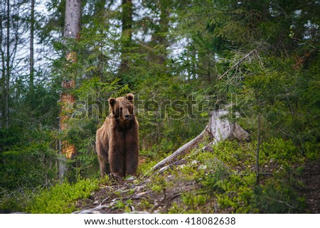 Big brown bear in the reserve in the Carpathian Mountains. Ukraine