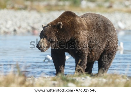Big Brown bear standing near a river at Alaska