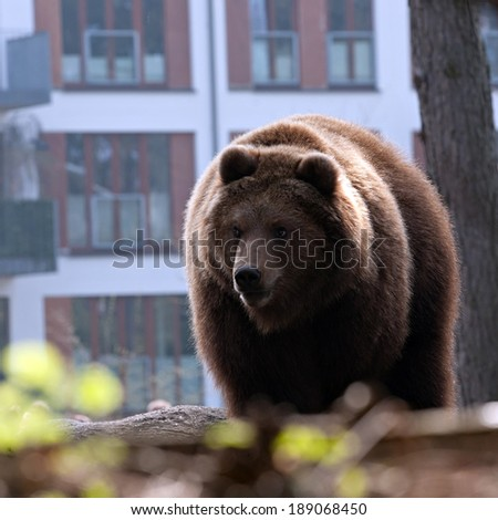 big brown bear standing on city house facade background - stock photo