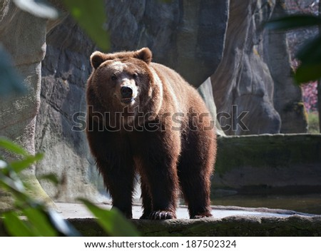 big brown bear standing on zoo background and looking at camera - stock photo
