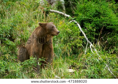 Big brown bear (Ursus arctos) in the environment