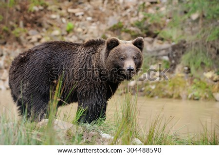 Big brown bear (Ursus arctos) in the forest - stock photo