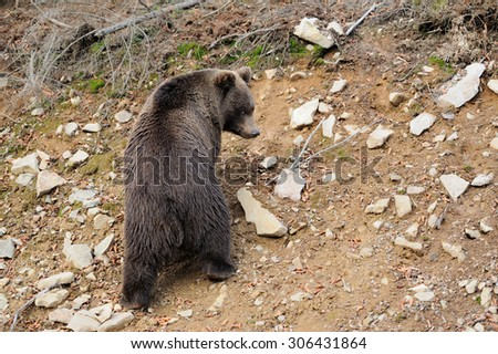Big brown bear (Ursus arctos) in the forest