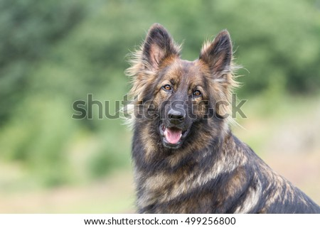 Big brown black sable coloured German Shepherd Dog looking at the camera