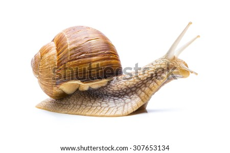big brown garden snail looks right isolted on white background - stock photo
