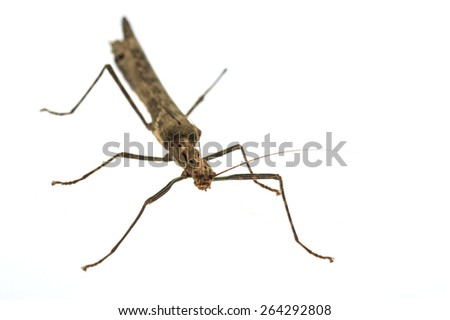 Big brown grasshopper isolated on white background
