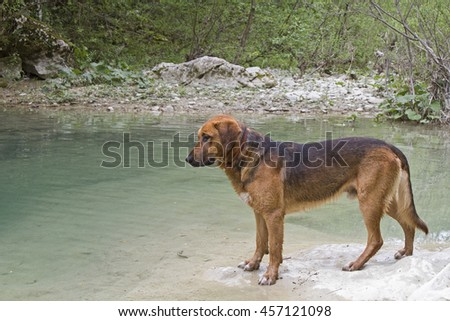 Big brown mongrel dog on the banks of Mirna in Istria - stock photo