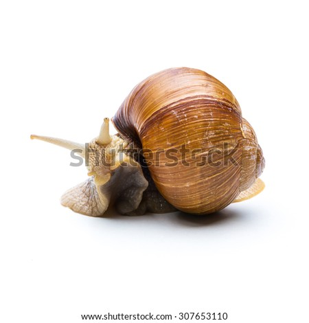 big brown snail is hiding in a shel isolated on white - stock photo