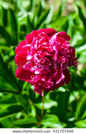 Big bud peony with delicate pink petals saturated - stock photo