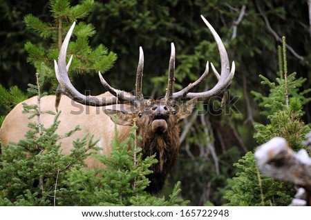Big Bull Elk Charging - stock photo