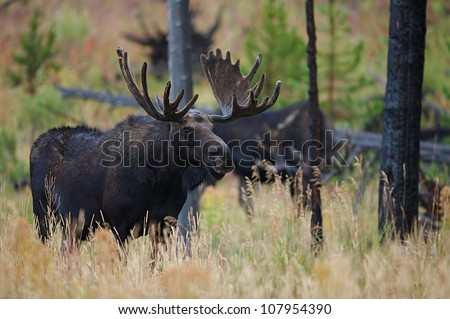 Big Bull Moose with another Moose in background, Yellowstone National Park - stock photo