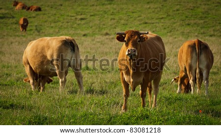 Big bull standing on the meadow and eating grass