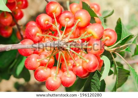 Big bunch of white ripe cherry juicy berry. Rainiers are sweet cherries with a thin skin and thick creamy-yellow flesh. - stock photo