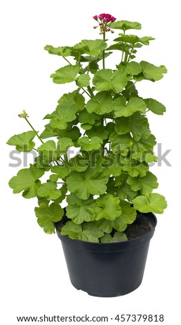 Big bush of a young geranium in the industrial dirty plastic container for sale. The plant can be planted on a flower bed. Isolated