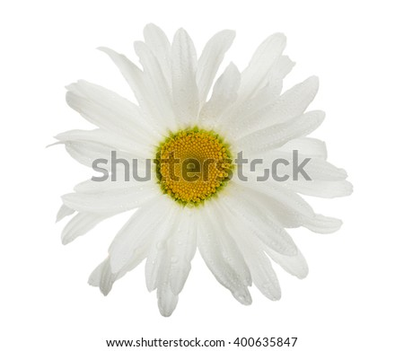 big camomile, isolated on white