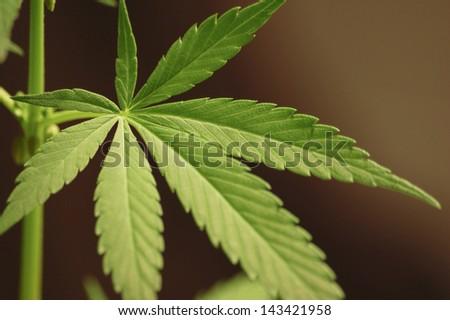 Big cannabis marijuana plant detail - stock photo