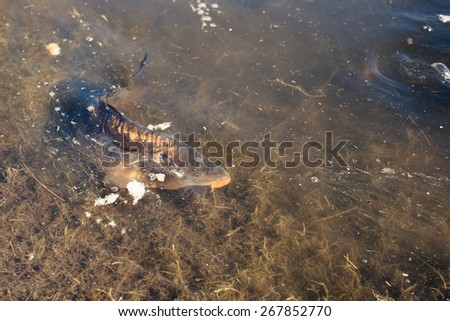 Big carp fish in a lake close to the shore - stock photo