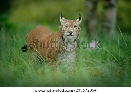 Big cat Eurasian lynx in the green grass in czech forest - stock photo