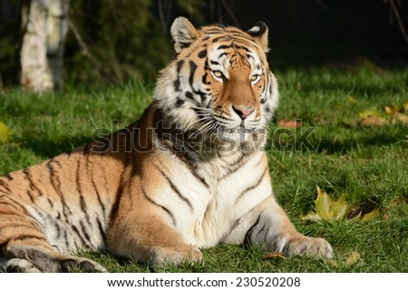 Big Cat from Siberia - stock photo