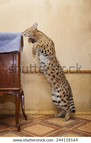 big cat serval at home - stock photo