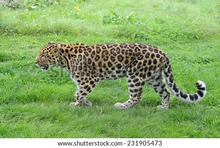 Big cat walking with spots showing full length