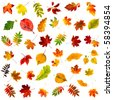 big collection set of beautiful colored autumn leaves close up isolated on white background - stock photo