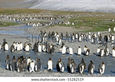 Big colony of king penguins in beach in South Georgia, young ones - stock photo