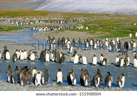 Big colony of young king penguins. They are in the line on the beach in South Georgia - stock photo