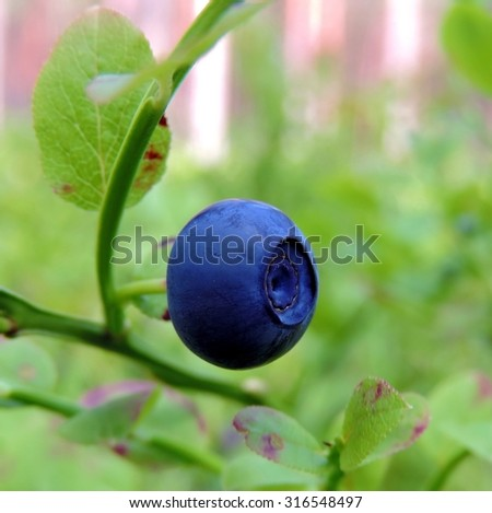 Big colorful mature blueberry and green leaves on a bush in a forest background.