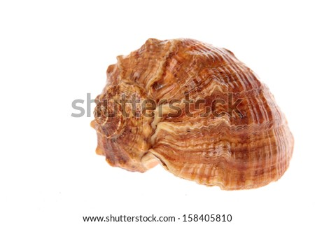 Big conch isolated on white background/Seashell