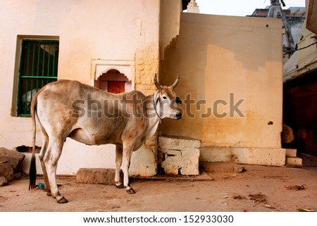 Big cow grazing on the street of the old Indian city - stock photo