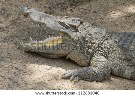 big crocodile - stock photo