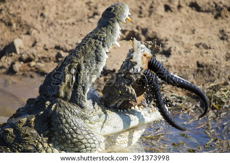 Big crocodile eats the head of a springbok with horns - stock photo
