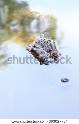 Big Crocodile in river