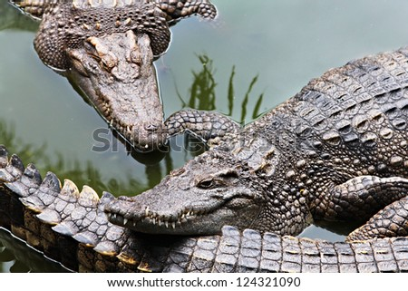 Big crocodiles in the zoo