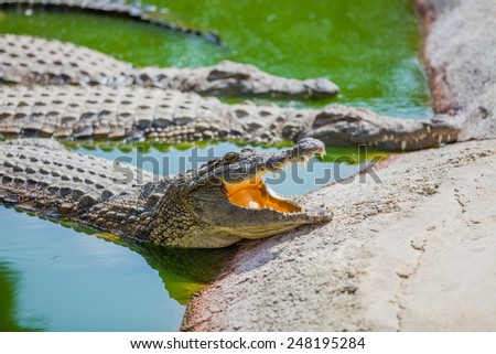 Big crocodiles resting in a crocodiles farm - stock photo