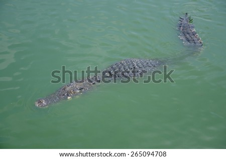 Big crocodiles resting in a crocodiles farm,Dangerous alligator in wildlife - stock photo