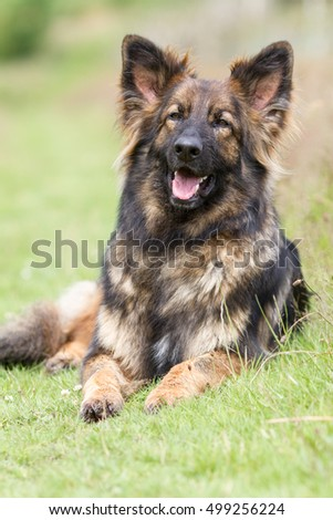 Big cuddly dog laid on grass with his tongue out and ears up
