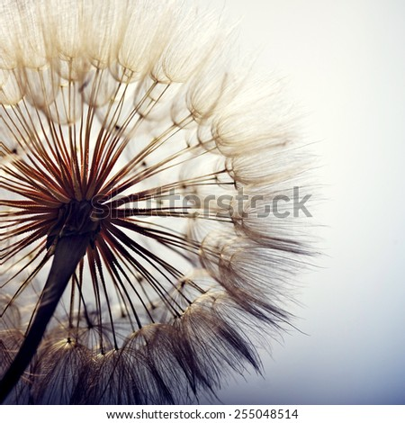 big dandelion on a blue background - stock photo