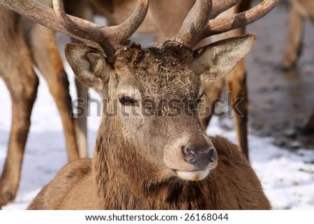 Big Deer Closeup - stock photo