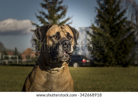Big Dog Boerboel. Outside the background.