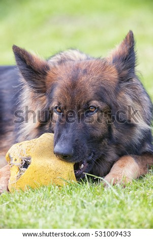 Big dog chewing large football whilst laid down on grass