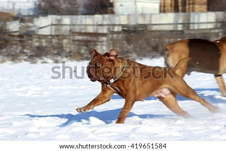 Big Dog - Dogue de Bordeaux in winter on snow - stock photo